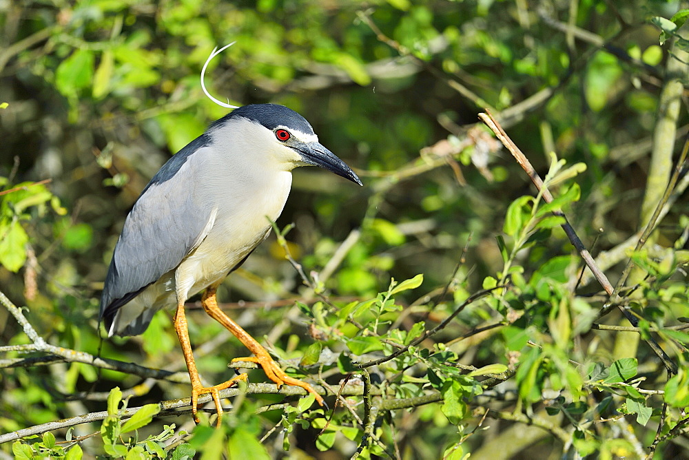 Night Heron on a branch, Dombes France