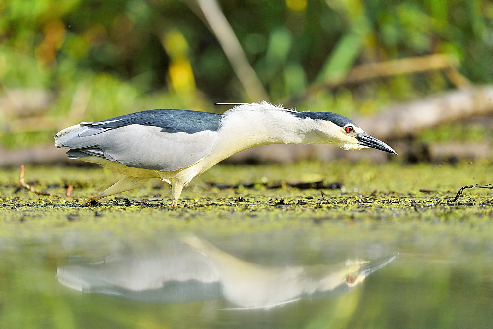 Night Heron fishing on water, Dombes France