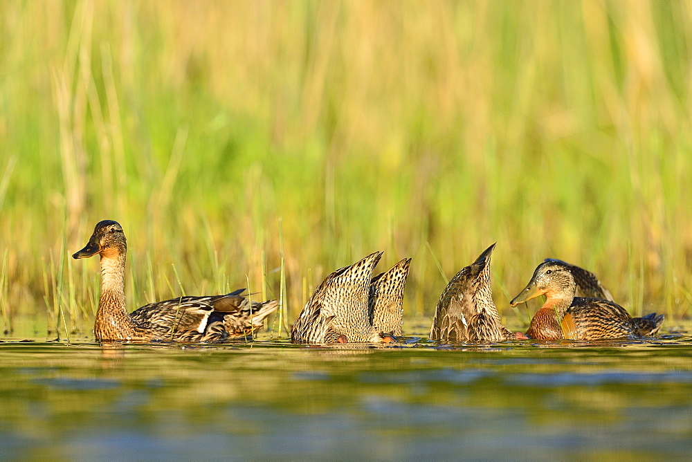 Mallard duck female and young on the water -The Dombes France