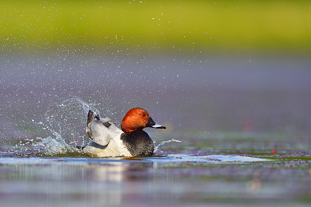 Common Pochard male snorting on water -The Dombes France