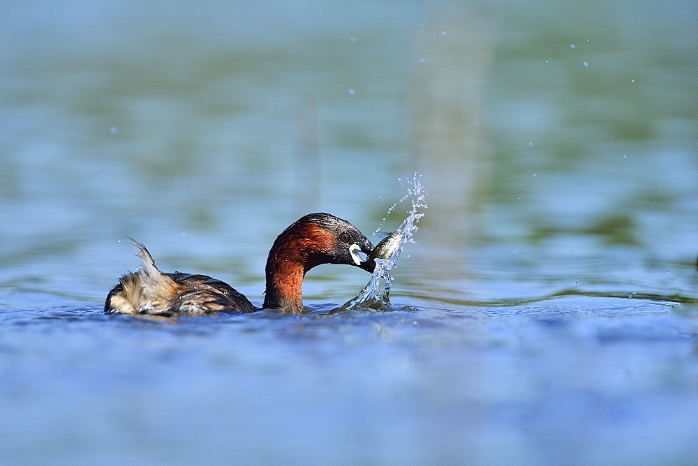 Little Grebe catching a fish on the water, Dombes France