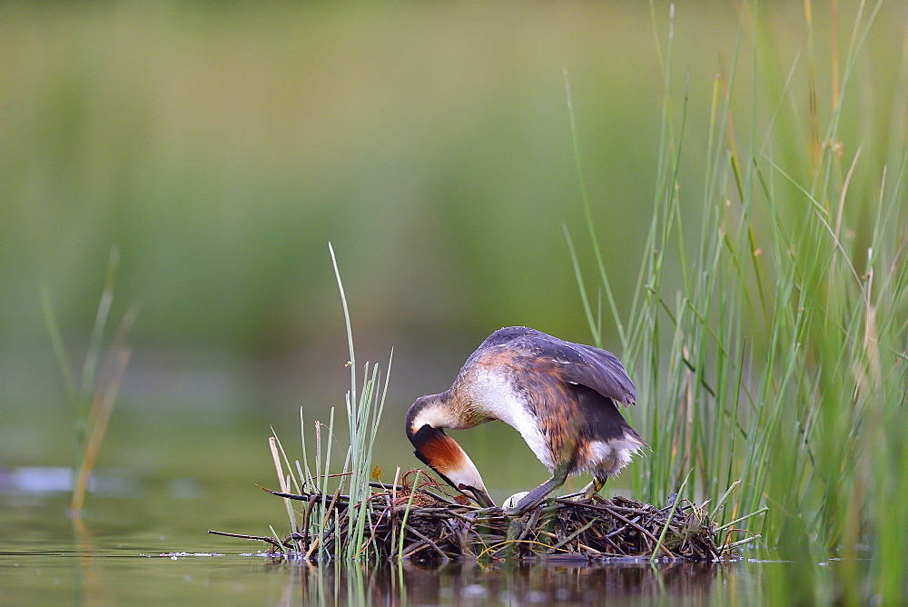 Great Crested Grebe on nest, La Dombes France