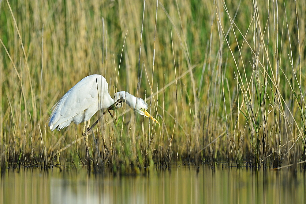 Great Egret fishing in a reed bed -The Dombes France