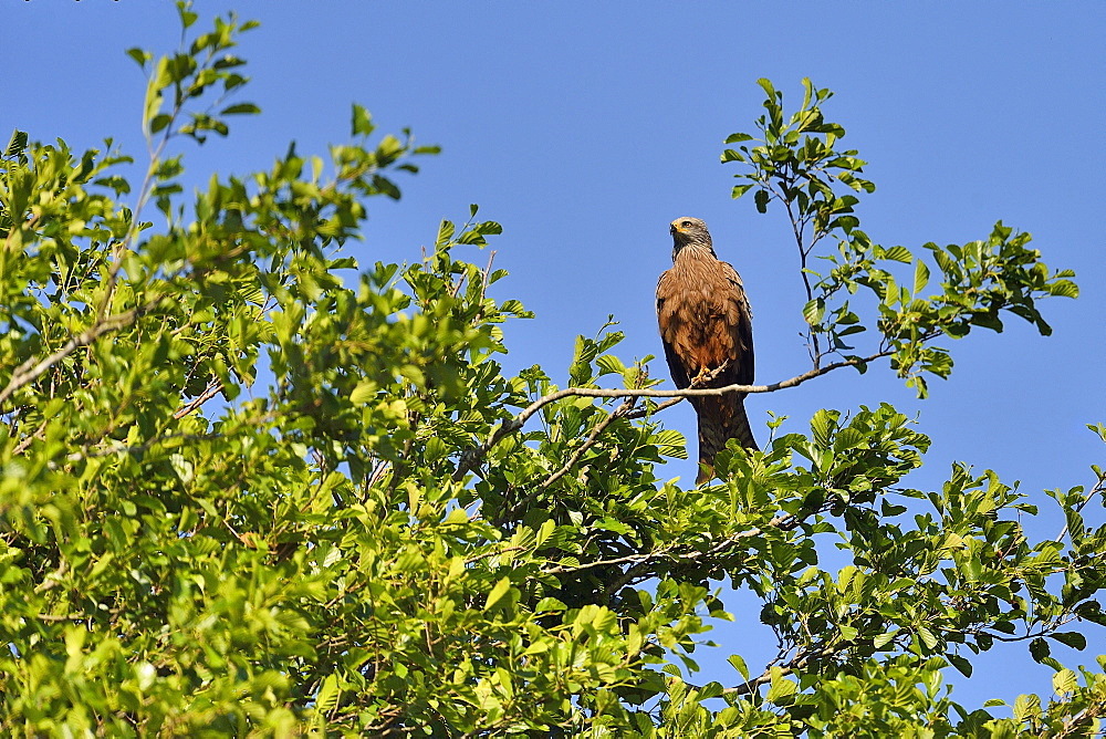 Egyptian Kite on a branch, Dombes France