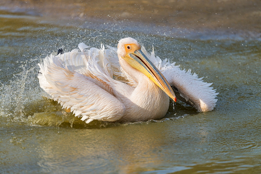 Great white pelican landing in Rift valley, Ethopia