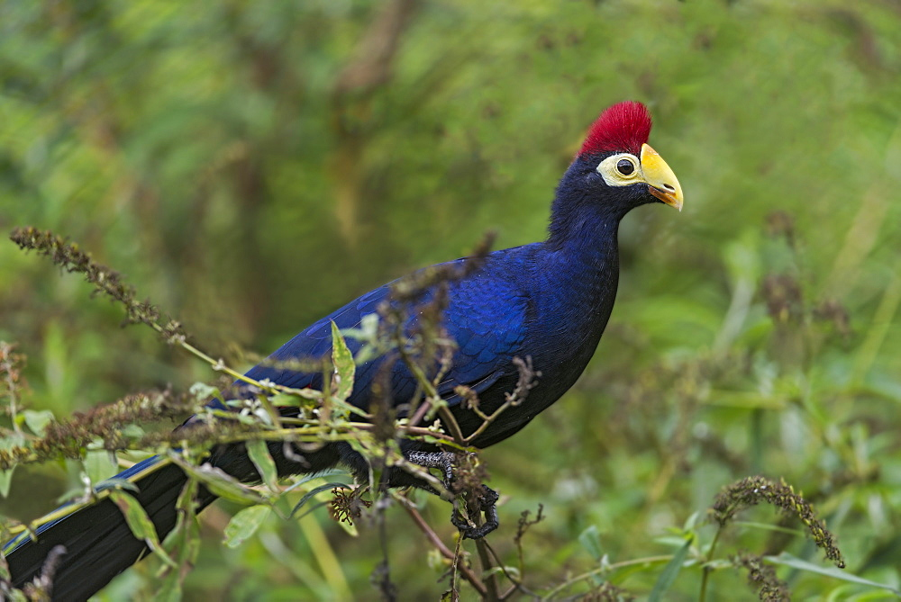 Violet turaco on a branch