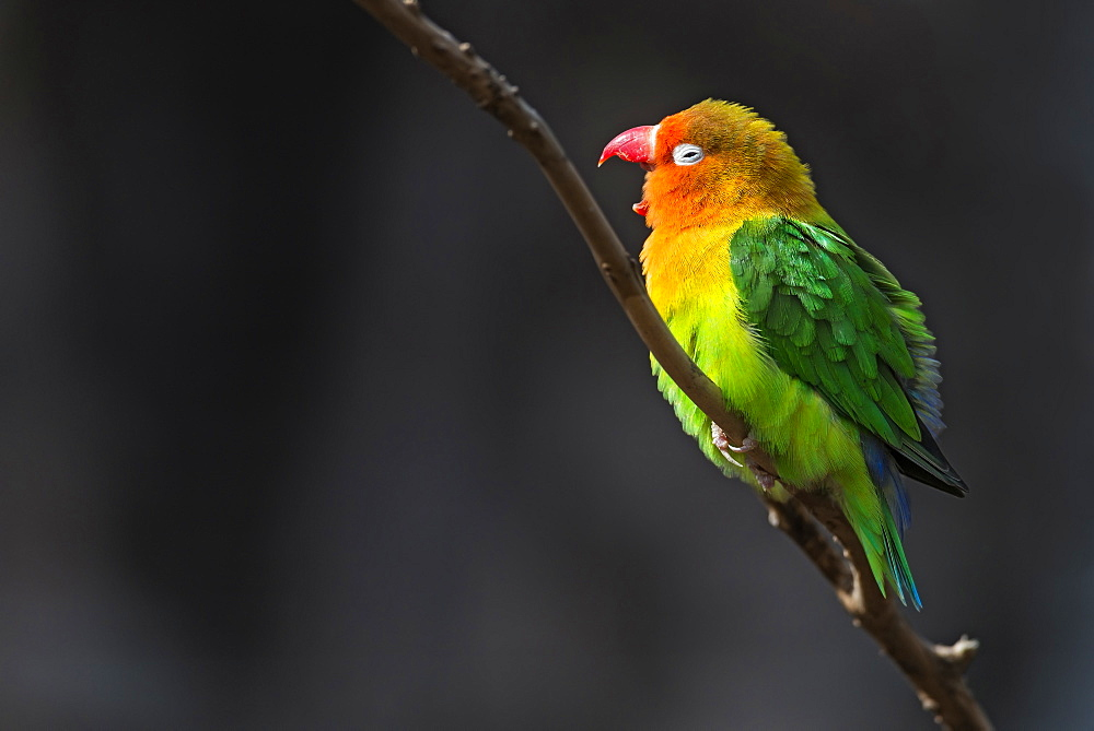 Fisher's lovebird on a branch