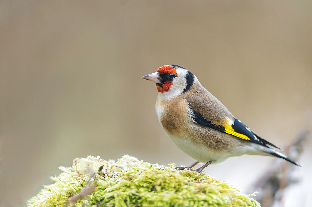 European goldfinch on moss, France