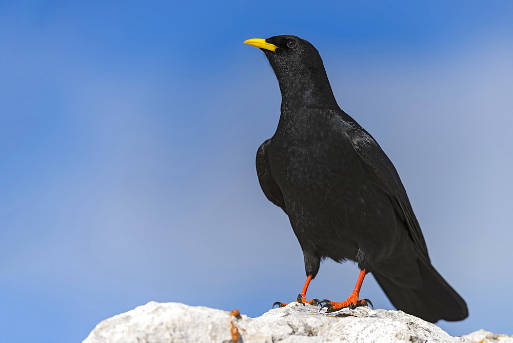 Alpine chough on a rock in the Alps, France