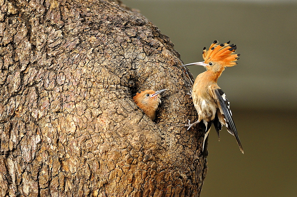 Hoopoe feeding its young in the nest, Botswana