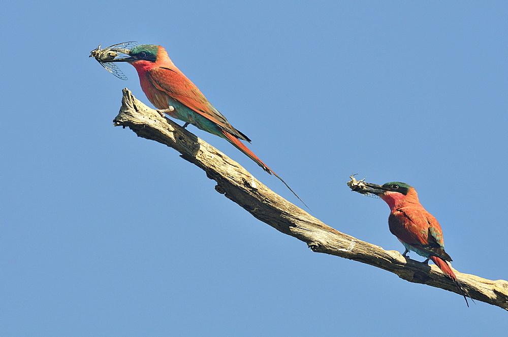 Carmine bee-eaters with Cicadas in the beak, Botswana