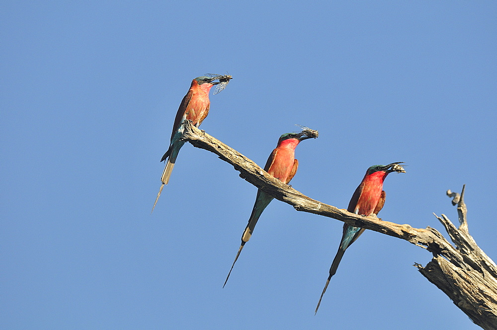 Carmine bee-eaters with Cicadas in the beak, Botswana