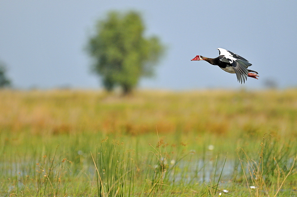 Spur-winged goose in flight, Okavango Delta Botswana
