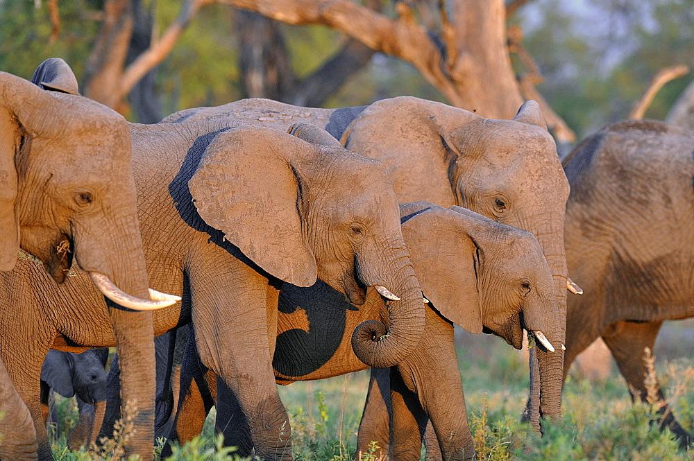 African Elephants in the savannah, Botswana