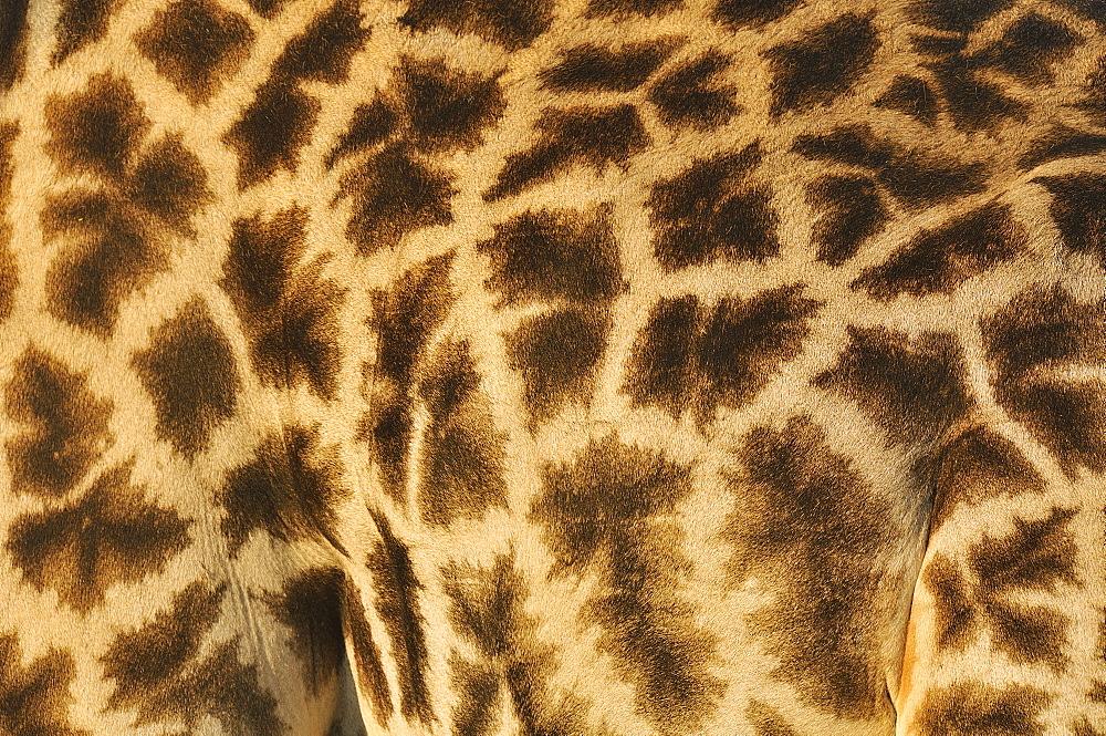 Giraffe coat, Botswana