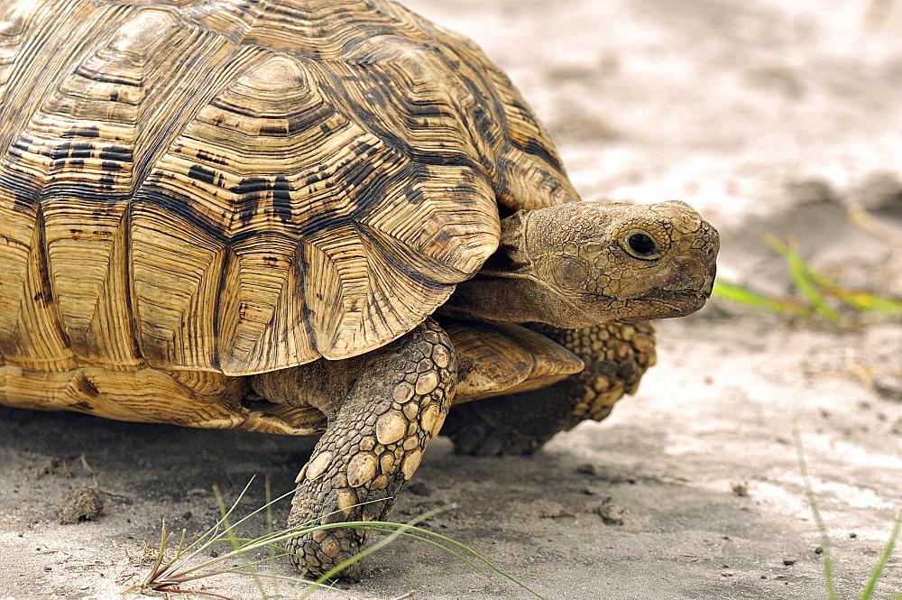 Leopard Tortoise in Savannah, Botswana