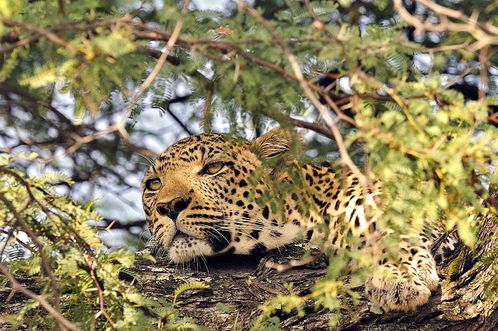 Portrait of male leopard lying in a tree, Botswana
