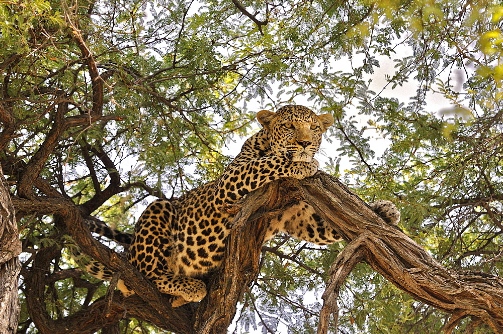 Male leopard lying in a tree, Botswana