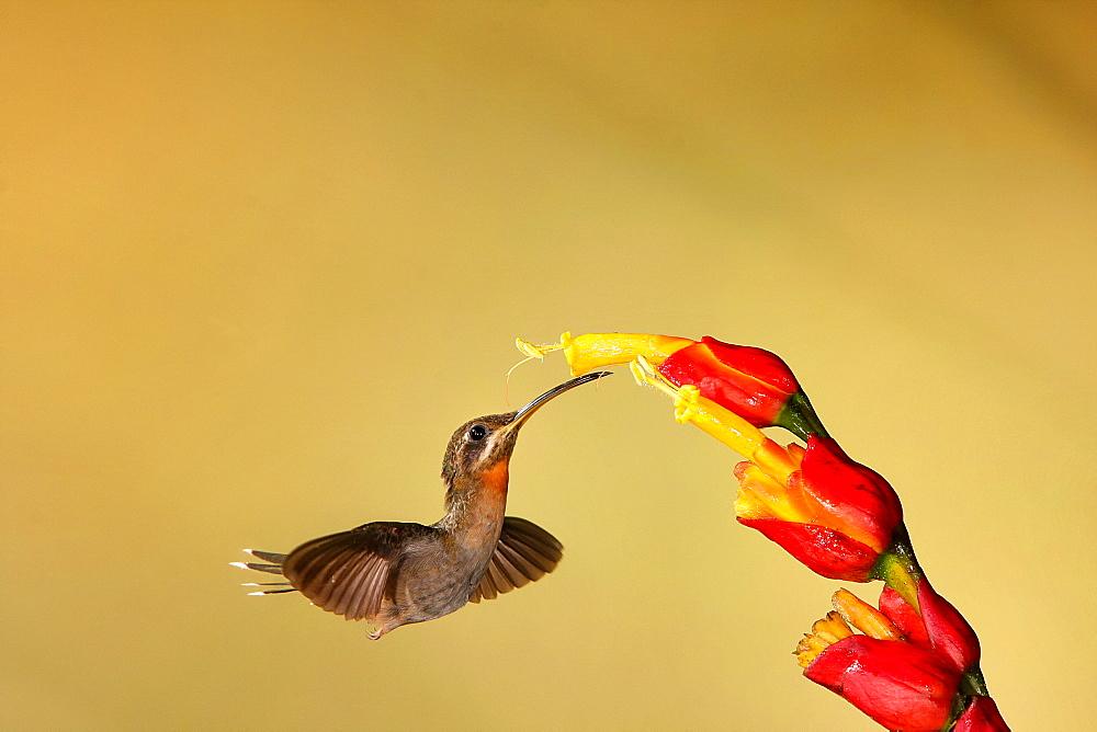Stripe-throated Hermit foraging in flight-Costa Rica