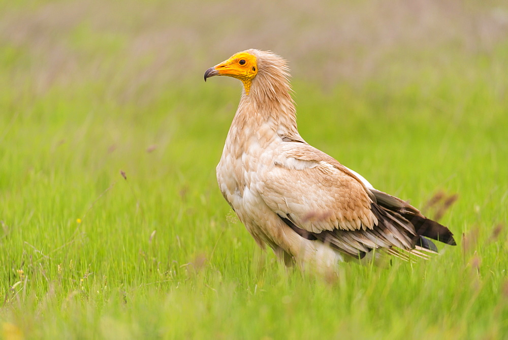 Egyptian vulture in Castille, Spain