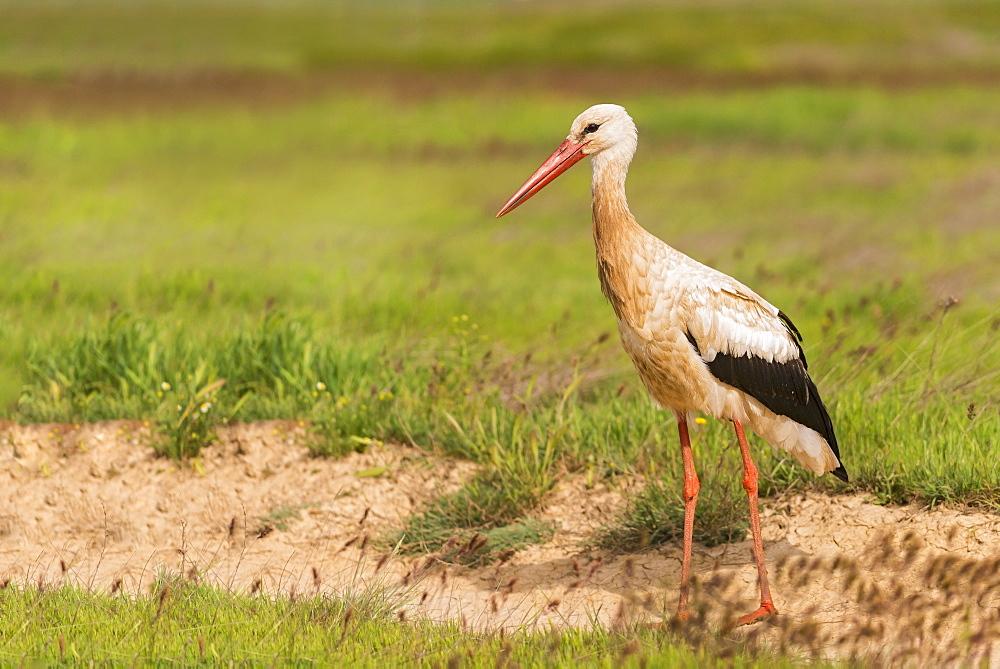 White stork in Castille, Spain