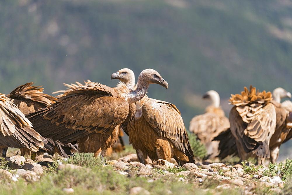 Eurasian griffon vultures in Catalonia- Spain