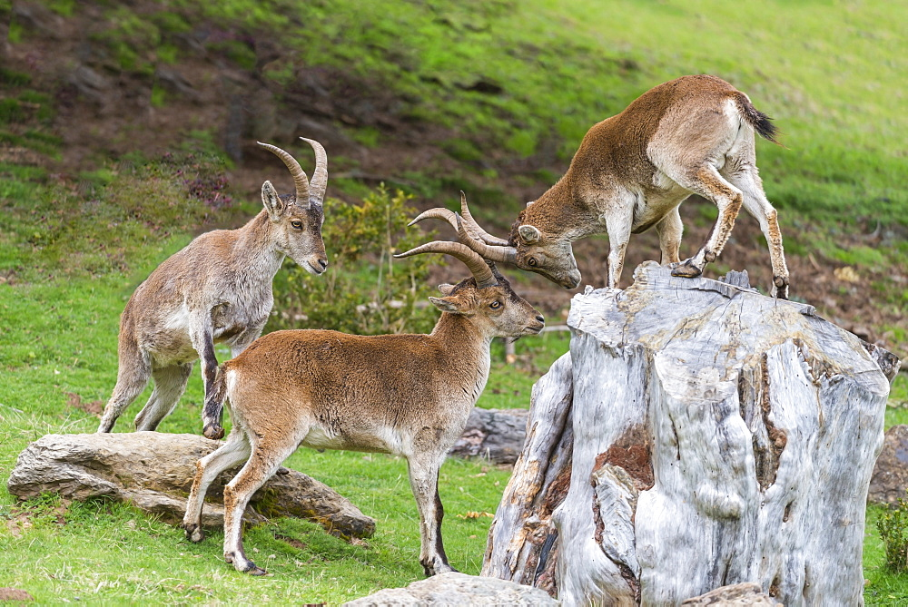 Spanish Ibex playing on a rock, Spain
