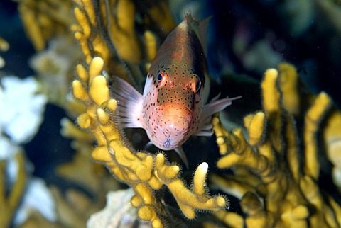 Blackside Hawkfish in Fire Coral , Red Sea Egypt