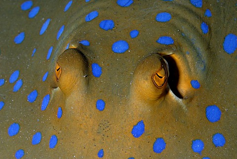 Eyes of Bluespotted Ribbontail Ray , Red Sea Egypt