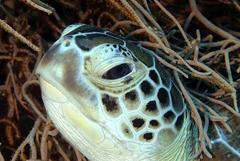 Portrait of Hawksbill turtle, Red Sea Egypt
