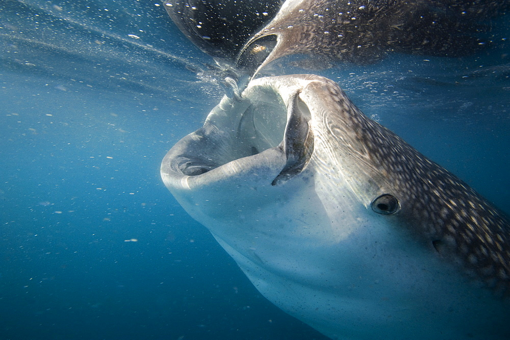 Whale Shark sifting plankton at surface-Gulf of California
