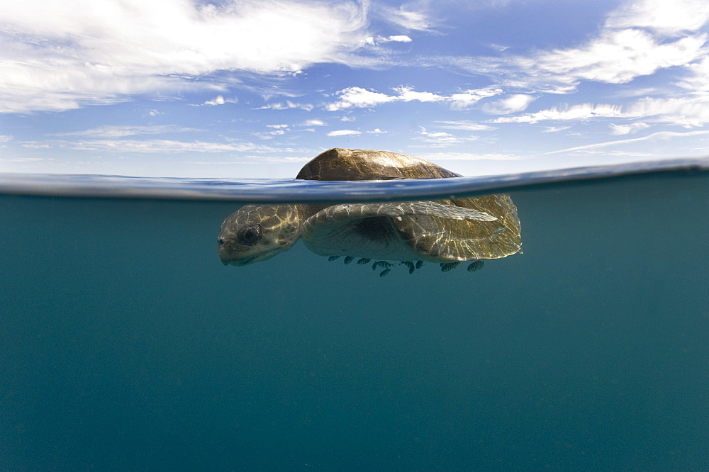 Sea turtle at the surface of the water, Gulf of California