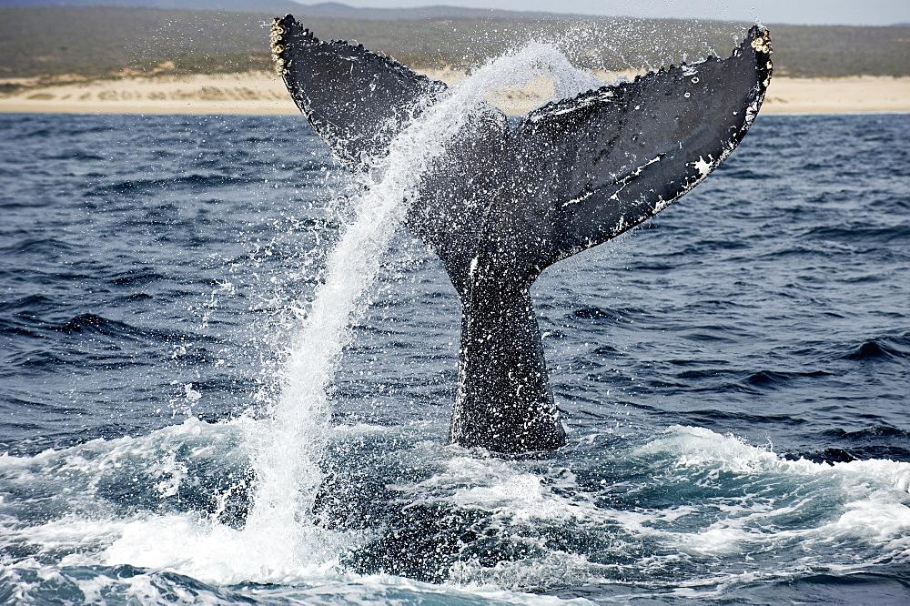 Humpback whale tail close to shore, Sea of ??Cortez