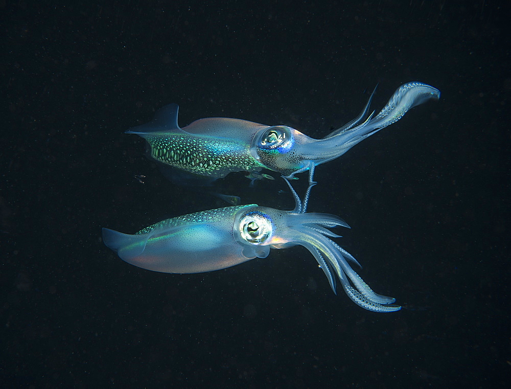 Longfin reefsquid with surface reflexion, Fiji Islands