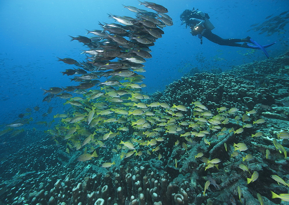 Common bluestripe snapper and diver, Fiji Islands