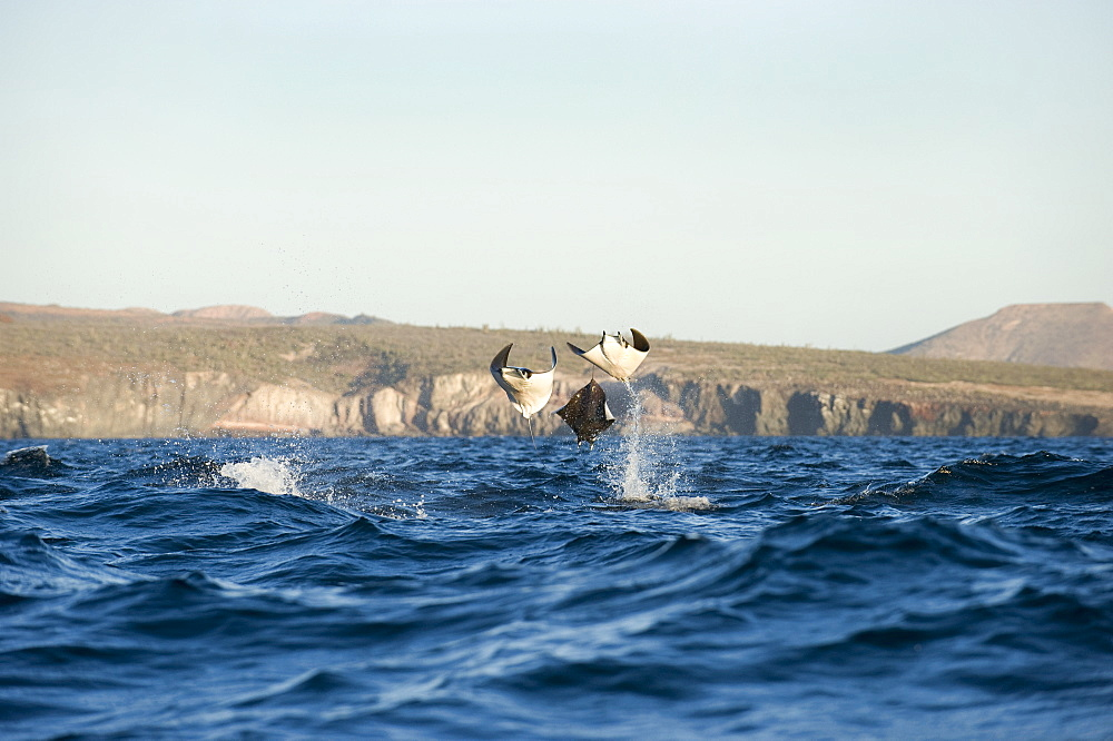 Mobula rays leaping, Gulf of California
