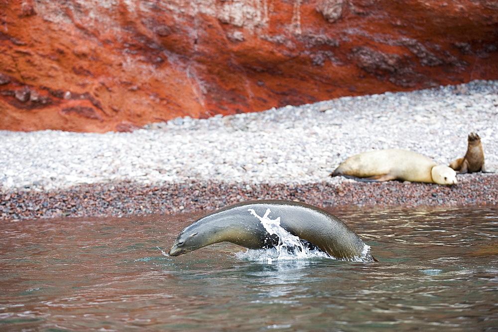 California Sea lion near shore, Gulf of California