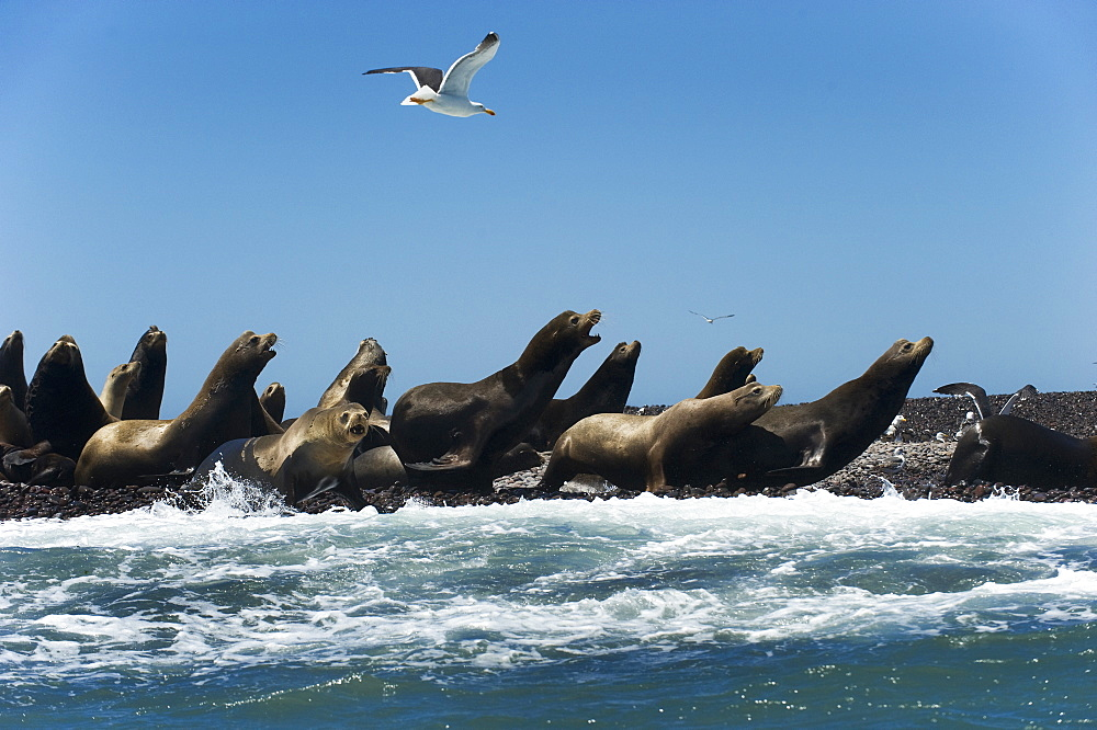 California Sea lion males on shore, Gulf of California
