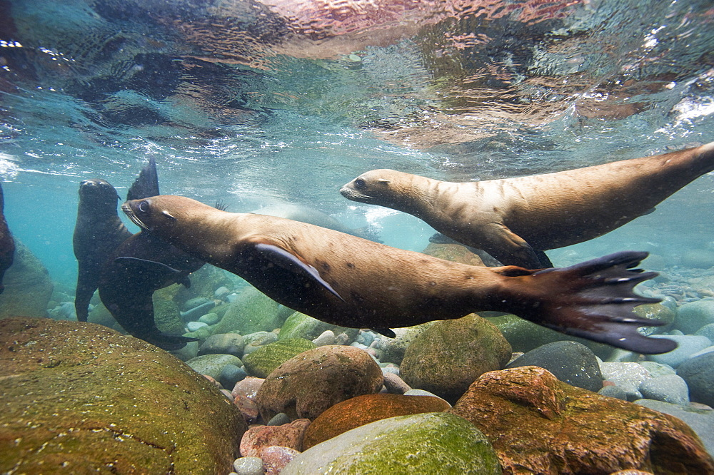 California Sea lions in the shallows, Gulf of California