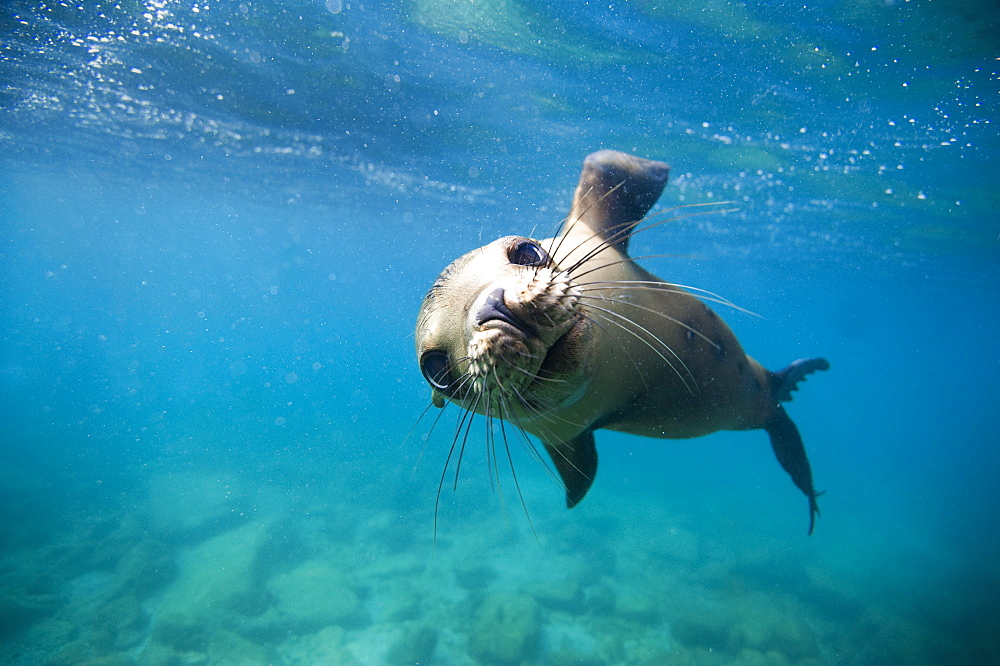 California Sea lion below the surface, Gulf of California
