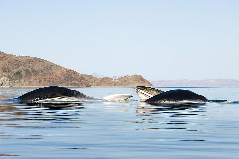 Lunge feeding fin whales, Gulf of California