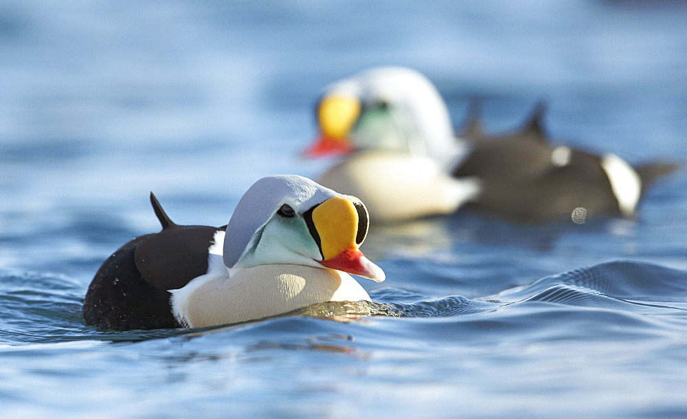 King Eider males bathing on water, Barents sea Norway