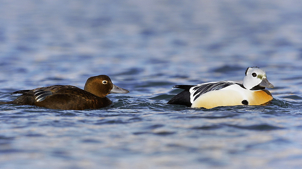 Steller's Eiders couple on water, Barents sea Norway