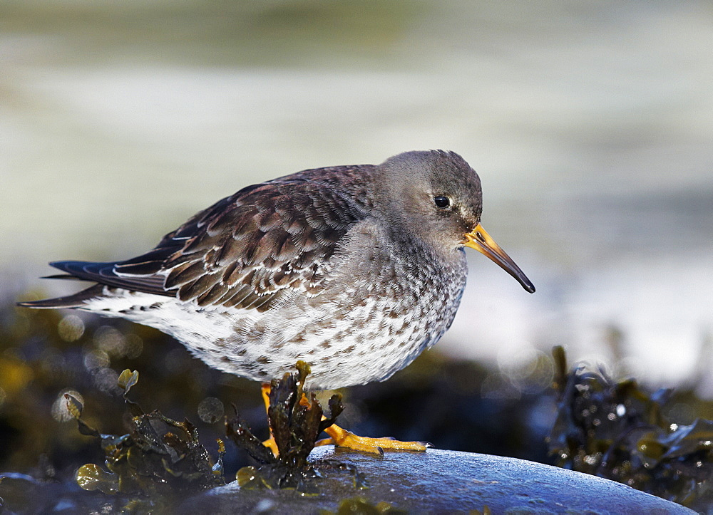 Purple Sandpiper resting on coastline, Varanger Norway
