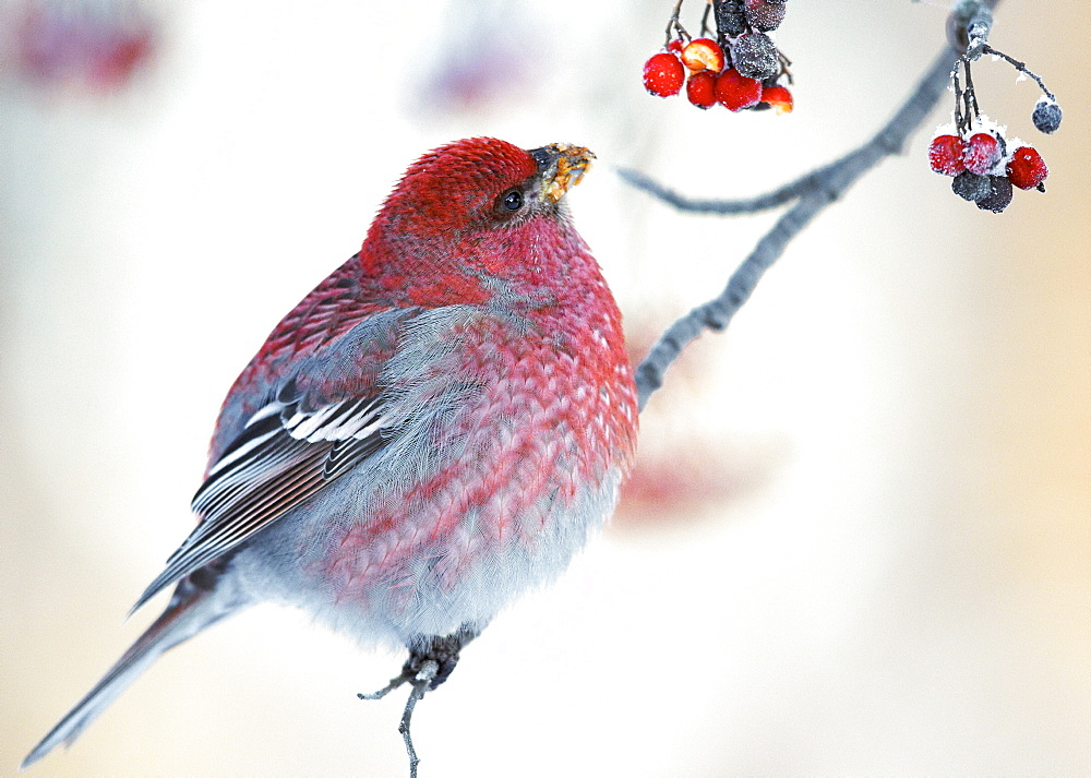 Male Pine Grosbeak feeding on Rowan tree berries, Finlande