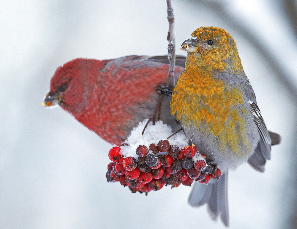 Couple Pine Grosbeak feeding on Rowan tree berries-Finlande