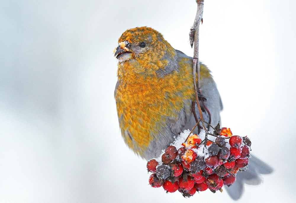 Female Pine Grosbeak feeding on Rowan tree berries-Finlande