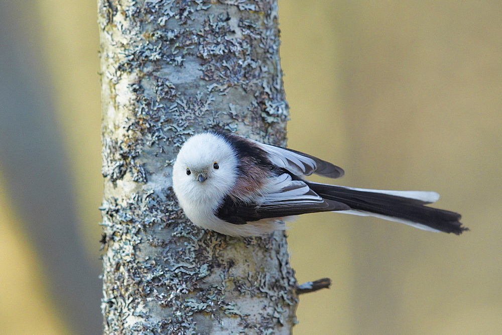 Long-tailed Tit  on a tree trunk, Finland