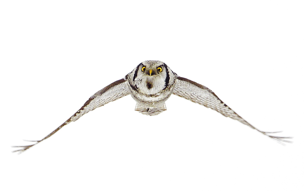 Hawk Owl  in flight in winter, Finland