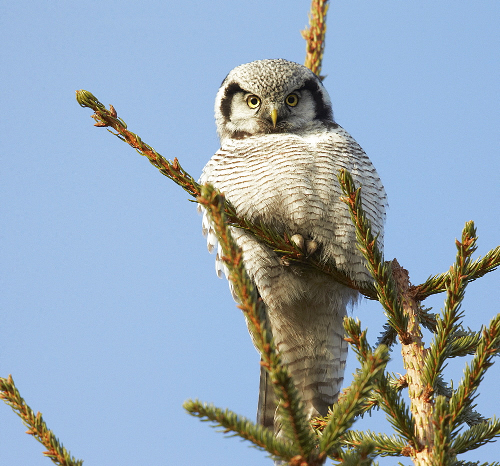 Hawk Owl at top of tree, Finland